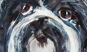 Black Shih Tzu swatch image