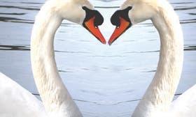 Swan Love swatch image