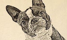 Boston Terrier swatch image