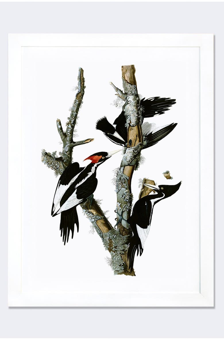 ICANVAS 'Ivory Billed Woodpecker' Framed Fine Art Print, Main, color, WHITE