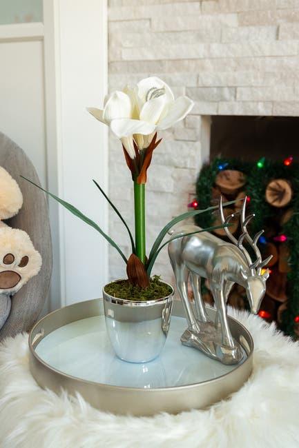 "Image of FLORA BUNDA Ivory 20"" Tall Amaryllis in Silver Plated Pot"