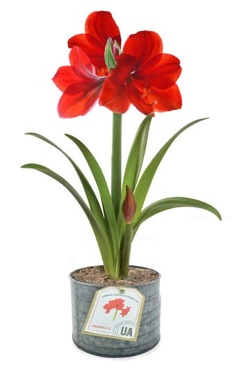 The Urban Agriculture Company Live Red Amaryllis Bulb In A Tin